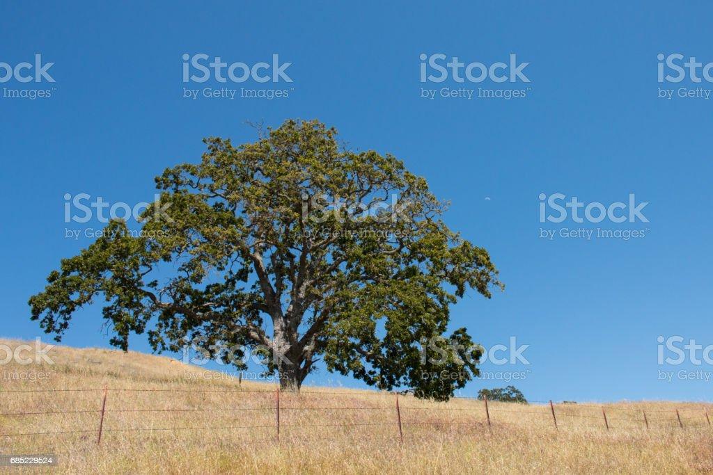 Oak tree in dry meadow royalty-free stock photo