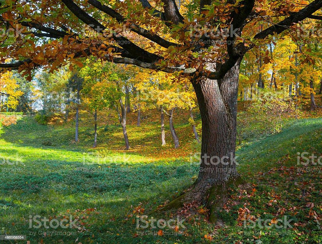 Oak tree in fall. stock photo