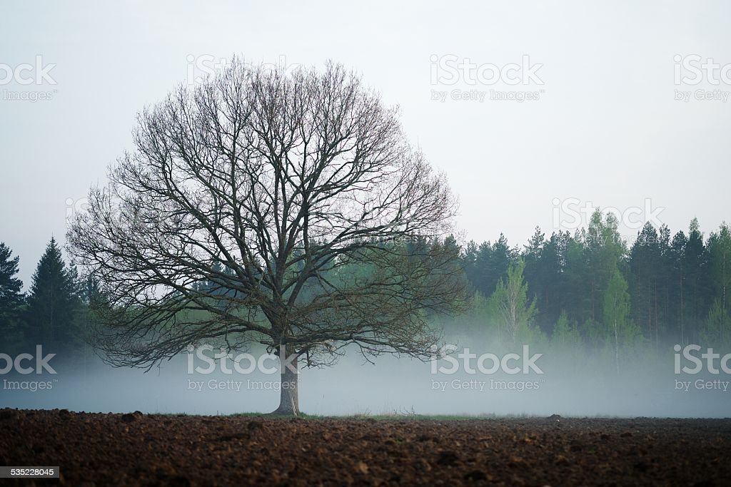 Oak tree in field stock photo