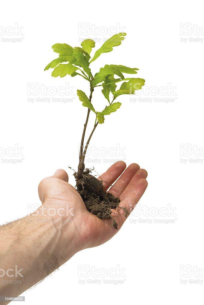 oak tree in hand royalty-free stock photo
