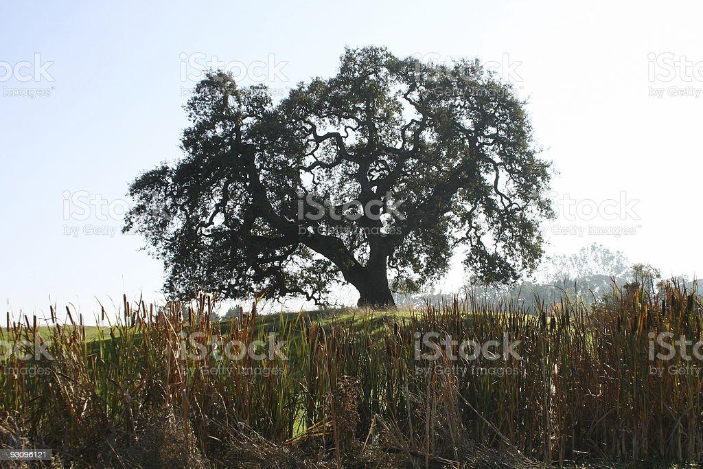 Oak Tree in Morning Sunlight royalty-free stock photo