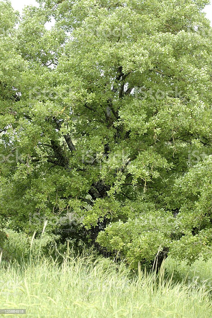 Oak Tree in Northern Israel stock photo