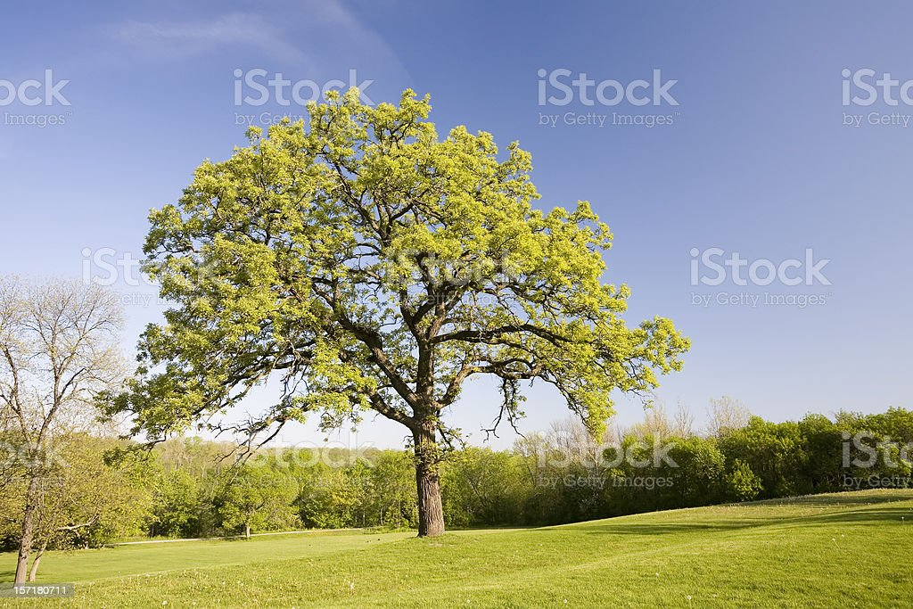 Oak Tree in Spring royalty-free stock photo
