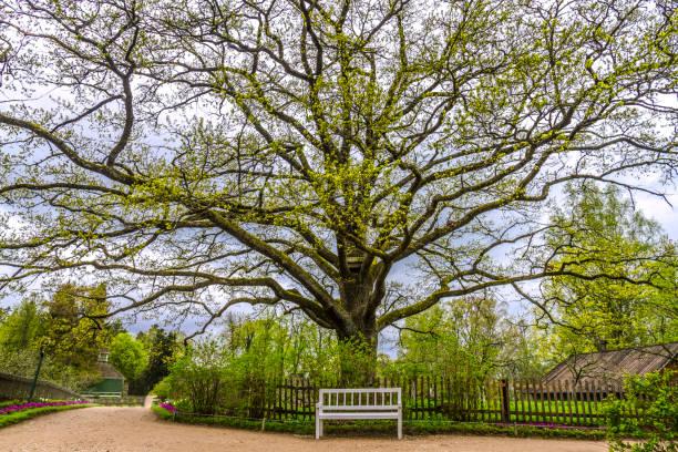 Cтоковое фото Oak tree in the estate of Pushkin, Pskov region, Russia