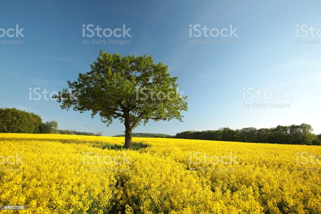 Oak tree in the field foto de stock libre de derechos