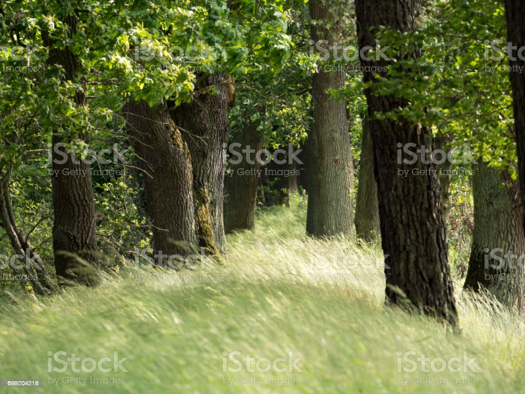 Oak tree in the forest stock photo