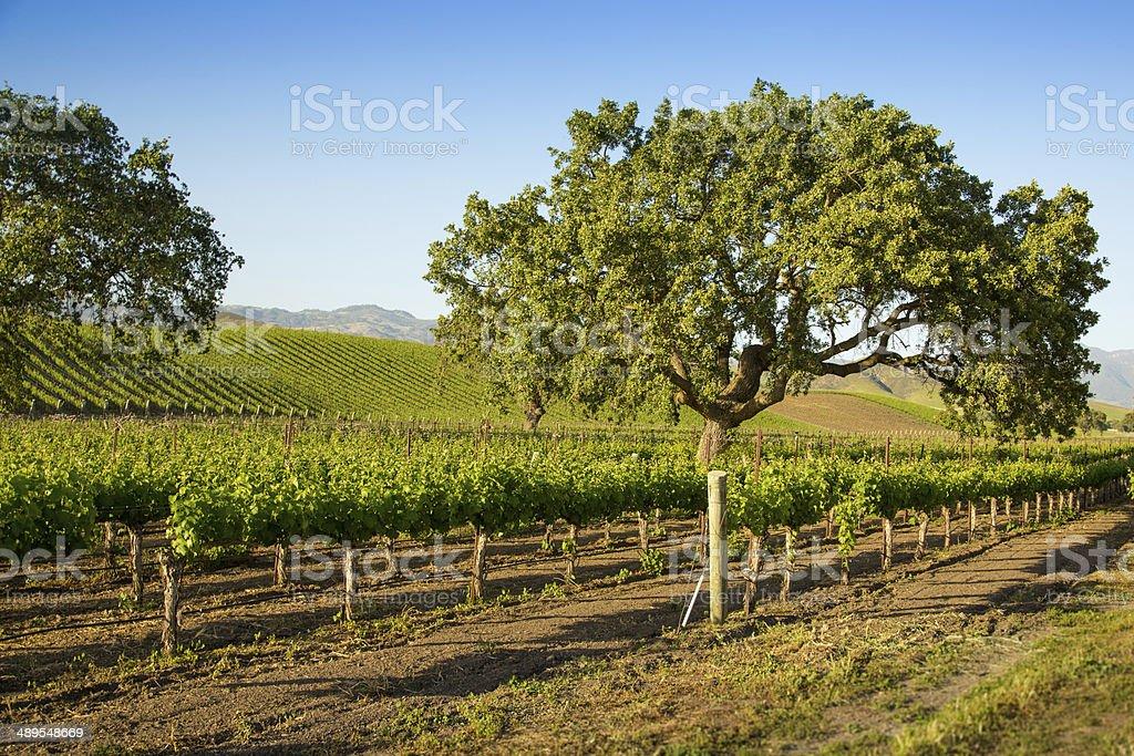 Oak Tree In Vineyard, Santa Ynez, CA stock photo