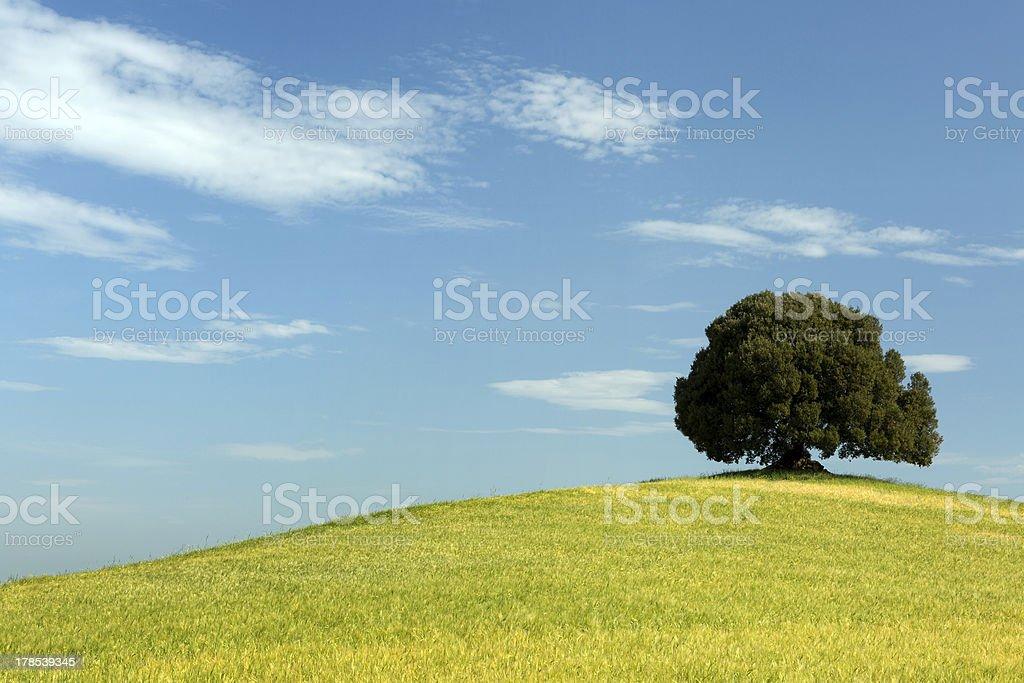 Oak tree in wheat field royalty-free stock photo