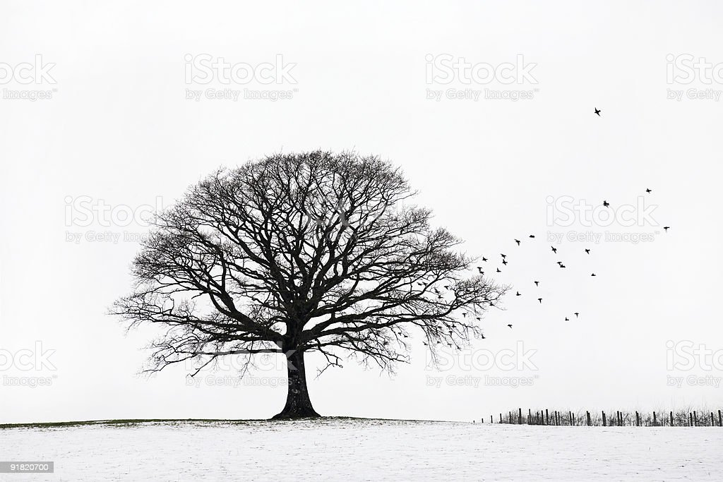 Oak Tree in Winter stock photo