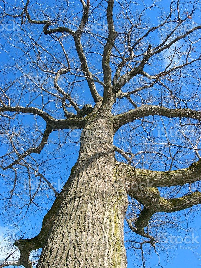 Oak tree in winter royalty-free stock photo