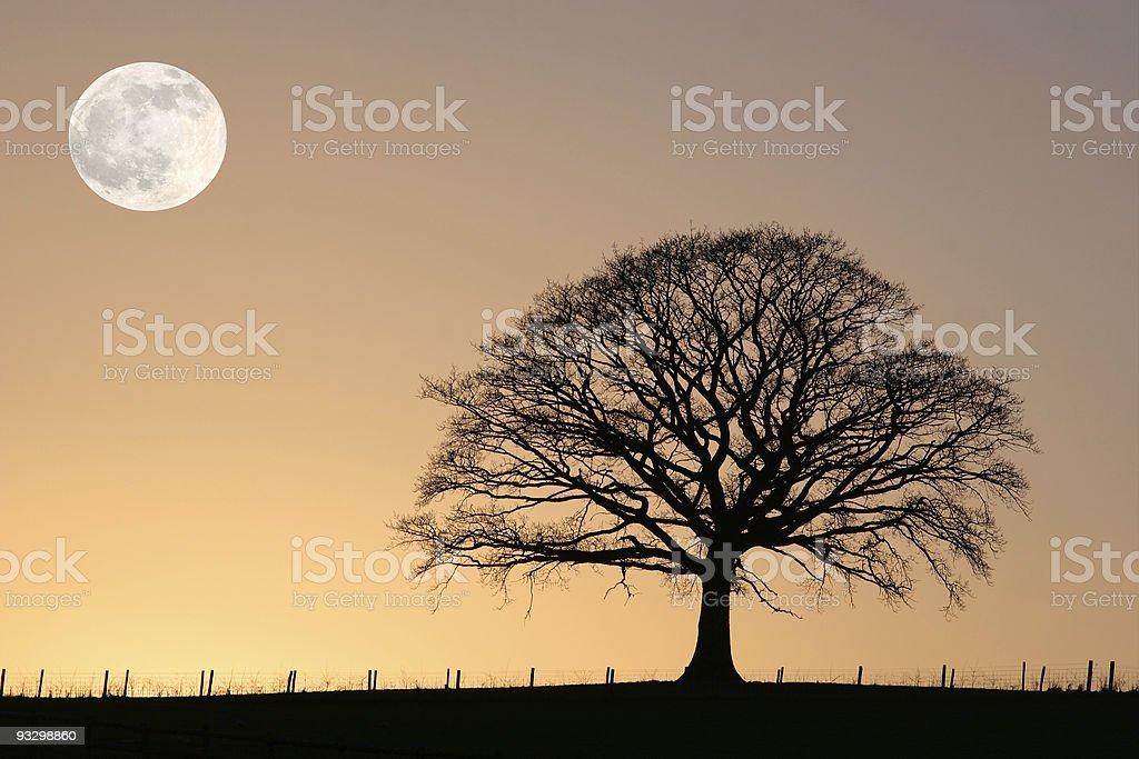 Oak Tree in Winter  Beauty In Nature Stock Photo