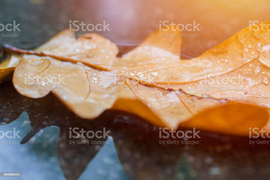Oak tree leaf lay on wet asphalt. stock photo