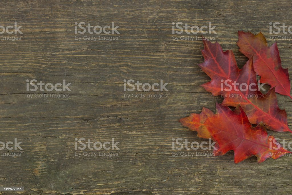 Oak tree leaf on a rustic wooden background stock photo