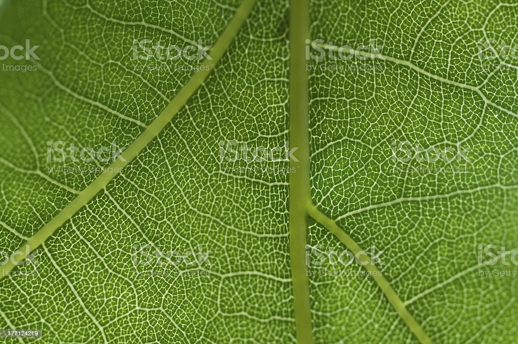 Oak tree leaf stock photo
