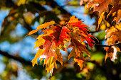Oak tree leaves in the fall