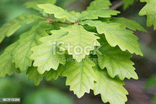 close-up of oak tree leaves on branch