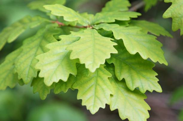 oak tree leaves on branch - deciduous stock pictures, royalty-free photos & images