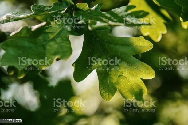 Photo of Oak tree leaves