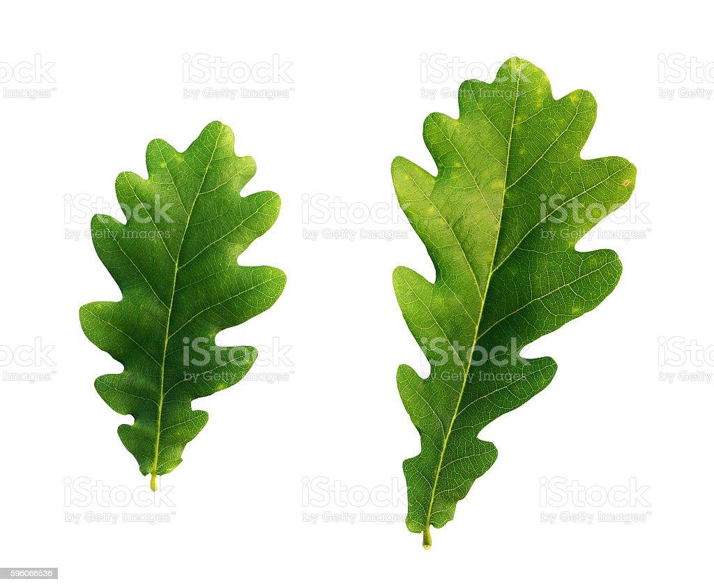Oak tree leaves royalty-free stock photo