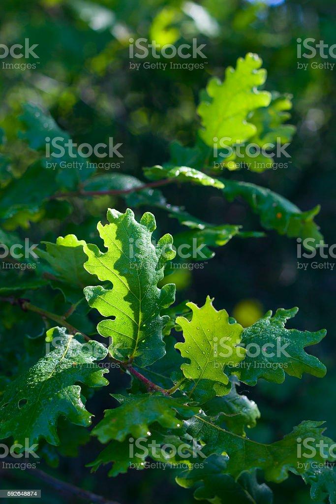 Oak tree leawes with dew stock photo