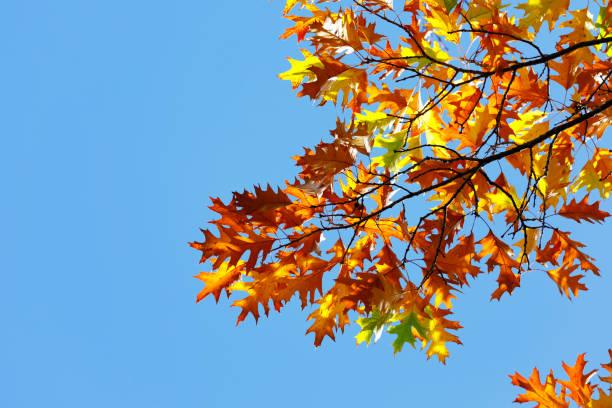 Feuillage luxuriant de chêne en brillant soleil d'automne. - Photo