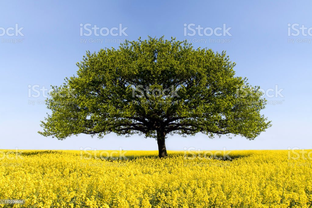 Oak Tree of Solitude - Royalty-free Agricultural Field Stock Photo