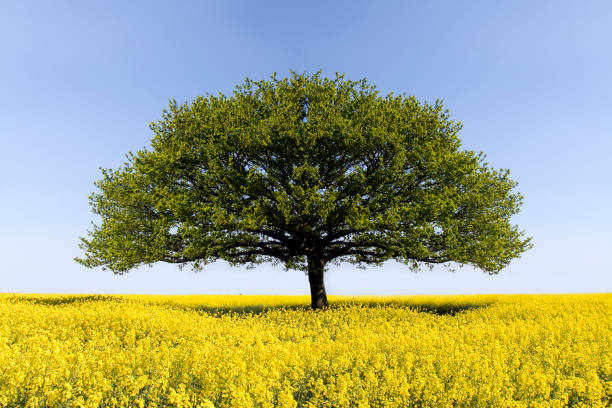 Oak Tree of Solitude stock photo