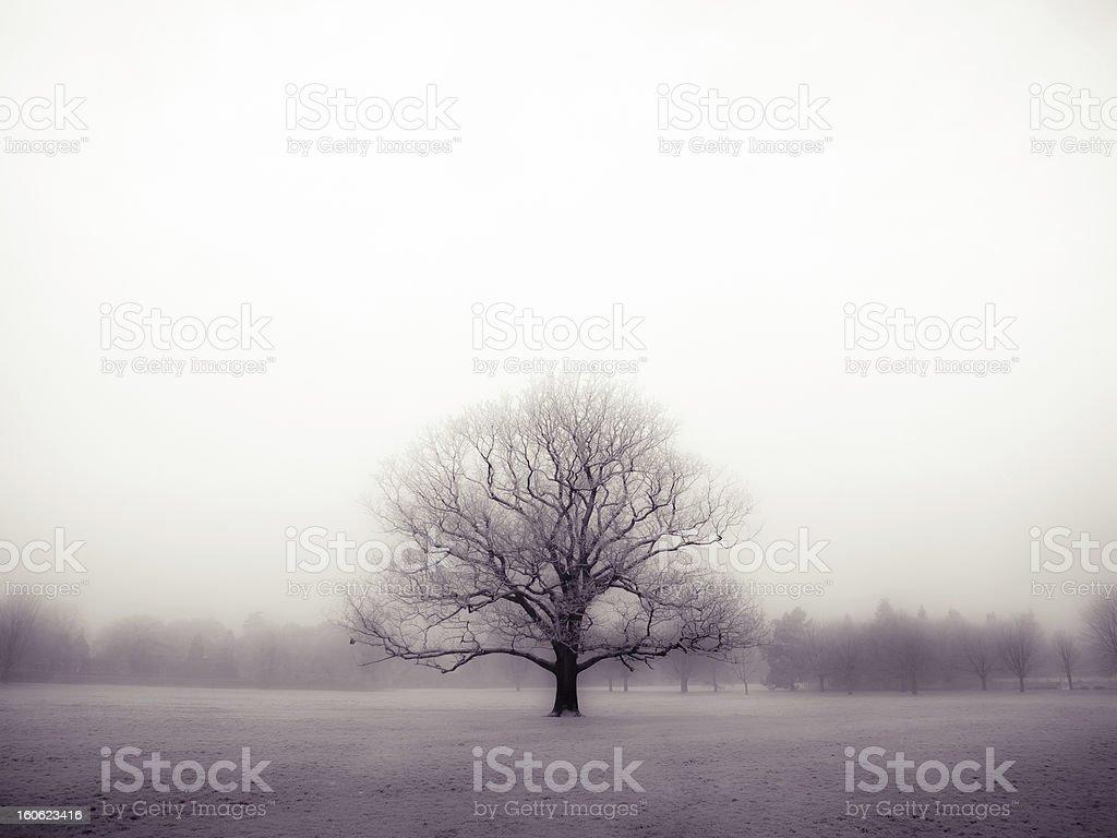 oak tree on a misty morning royalty-free stock photo