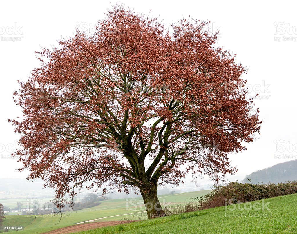 Oak tree on field with some remaining red leaves in_winter. Oak tree on field with some remaining red leaves in winter. Accessibility Stock Photo