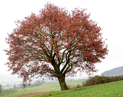 Oak Tree On Field With Some Remaining Red Leaves Inwinter Stock Photo - Download Image Now