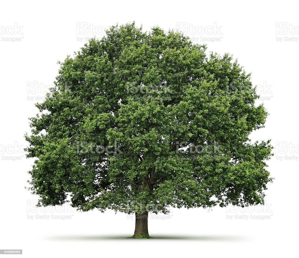 Oak tree on white background with shadow stock photo