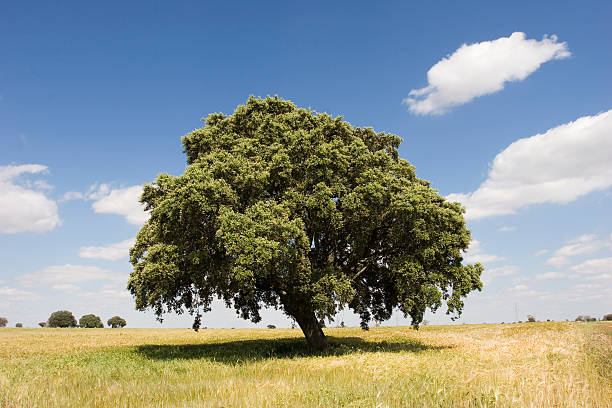 Oak tree Oak tree in sunny day 100th anniversary stock pictures, royalty-free photos & images
