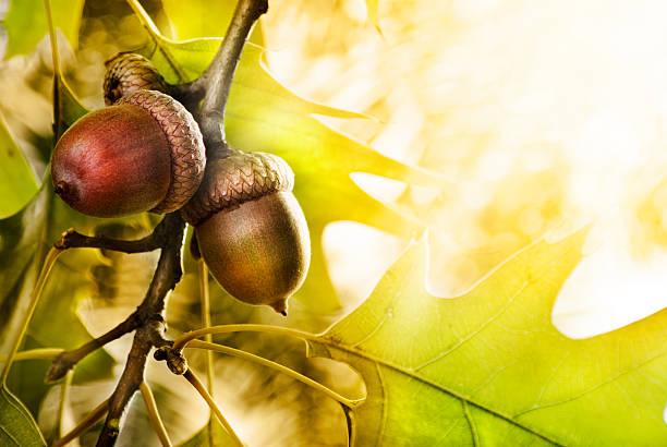 oak tree - eichenblatt stock-fotos und bilder