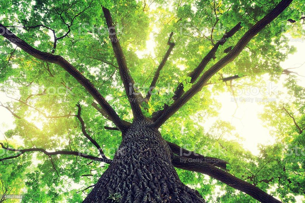 Oak Tree – Foto