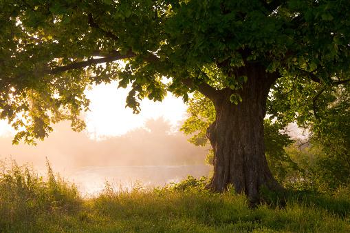 tree and fog