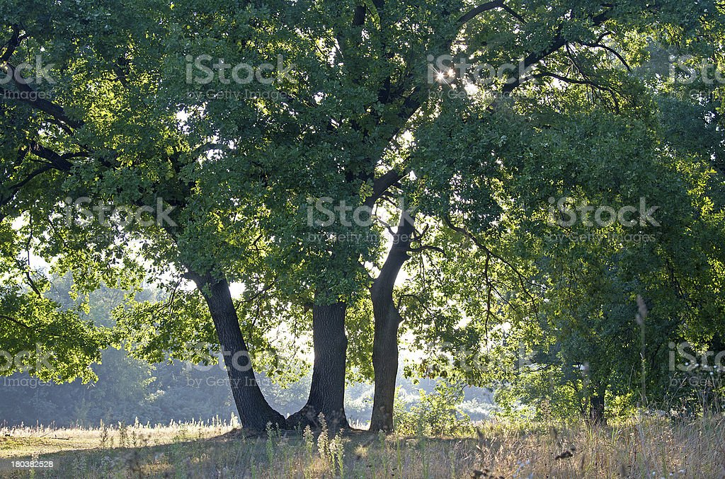 Oak Tree royalty-free stock photo