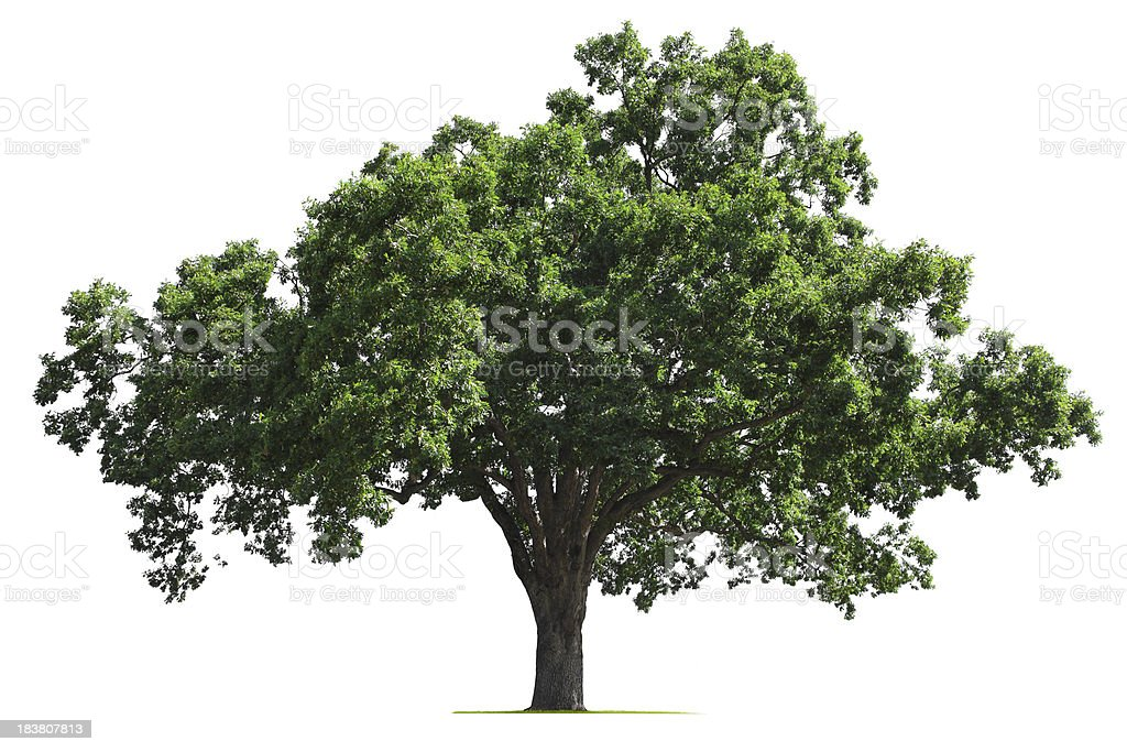 Oak Tree A  mature oak tree isolated on white.To see more isolated trees click on the link below: Cut Out Stock Photo