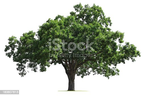 A  mature oak tree isolated on white.To see more isolated trees click on the link below: