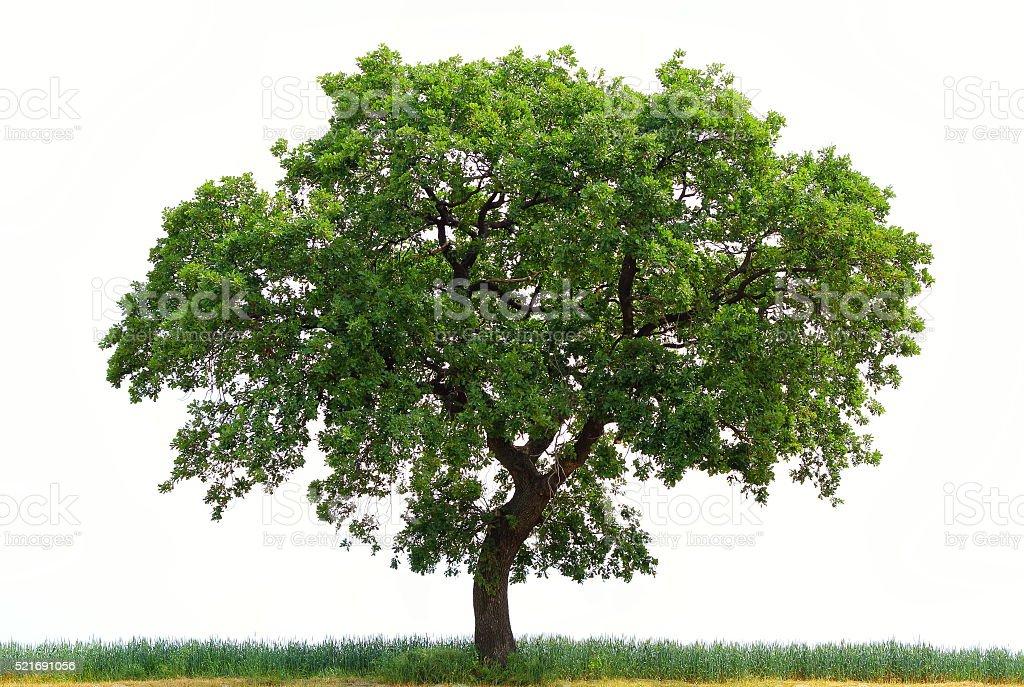 Carvalho Tree - foto de acervo