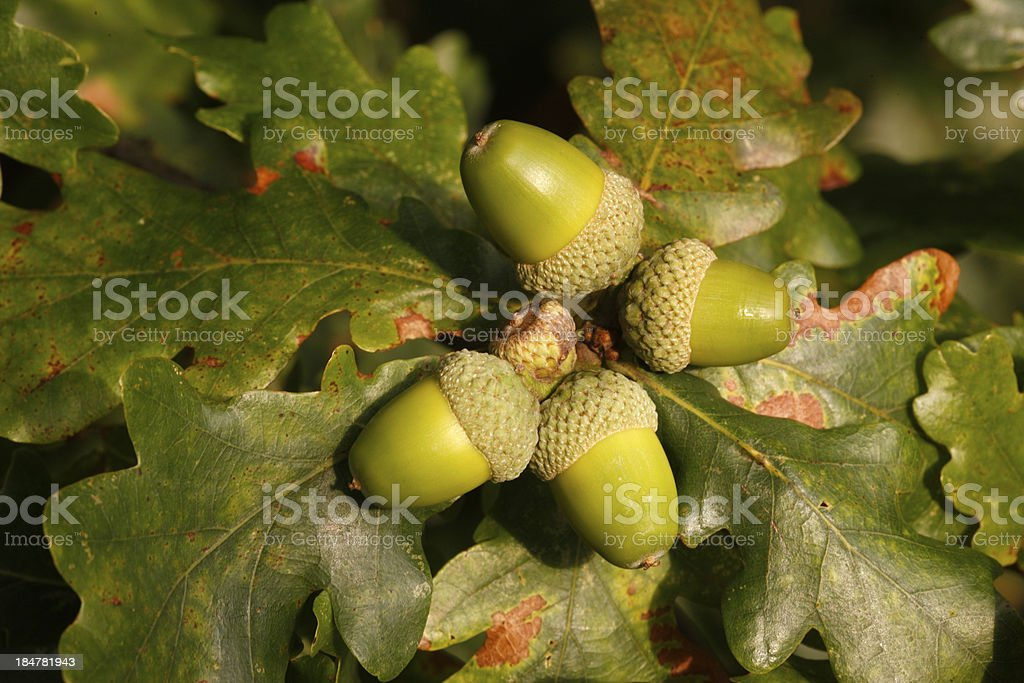 Oak tree, Quercus rober royalty-free stock photo