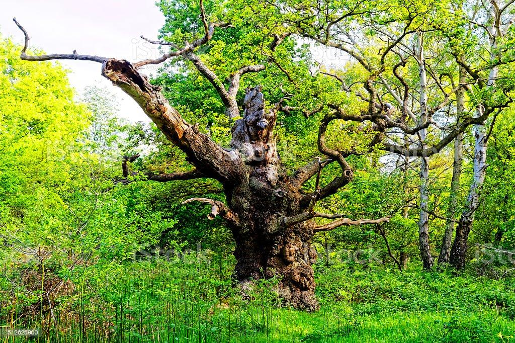 Oak Tree Reaches Out stock photo