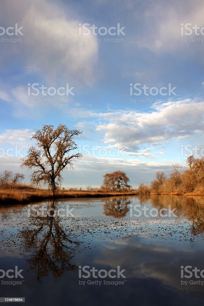 Oak Tree Reflection royalty-free stock photo