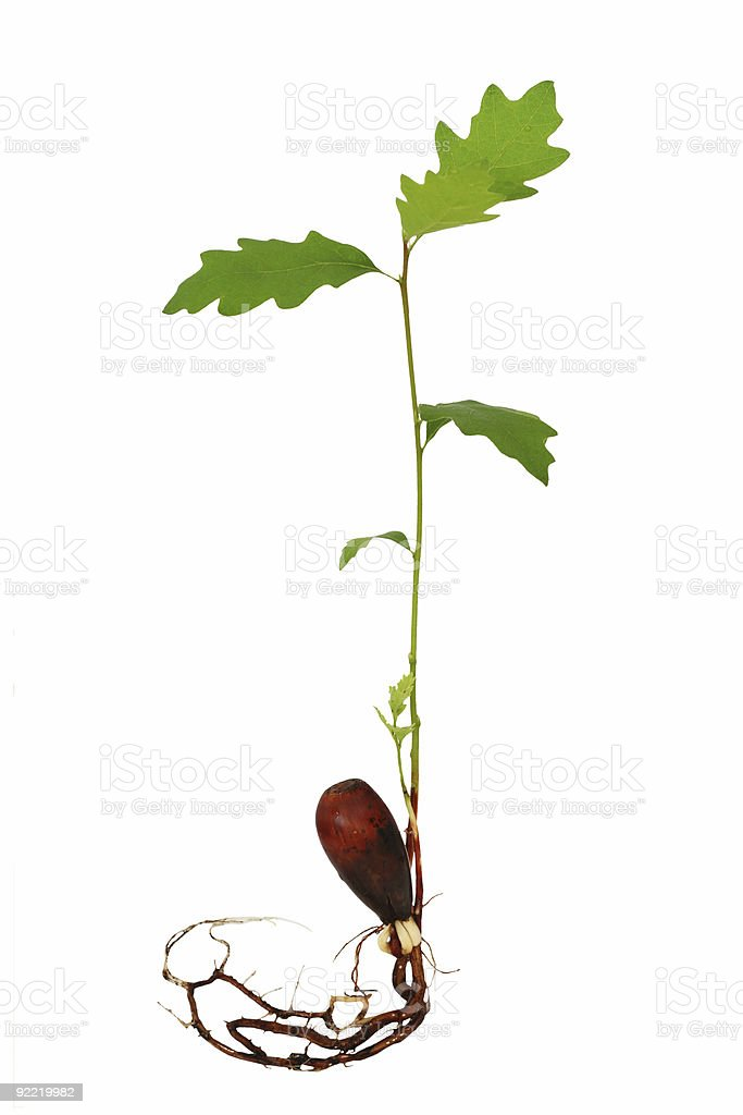 Oak tree seedling with roots stock photo