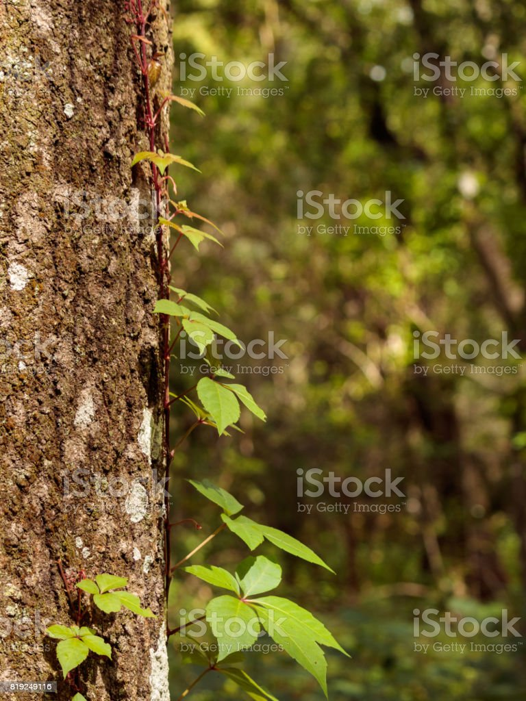 oak tree sprout climbing tree trunk stock photo