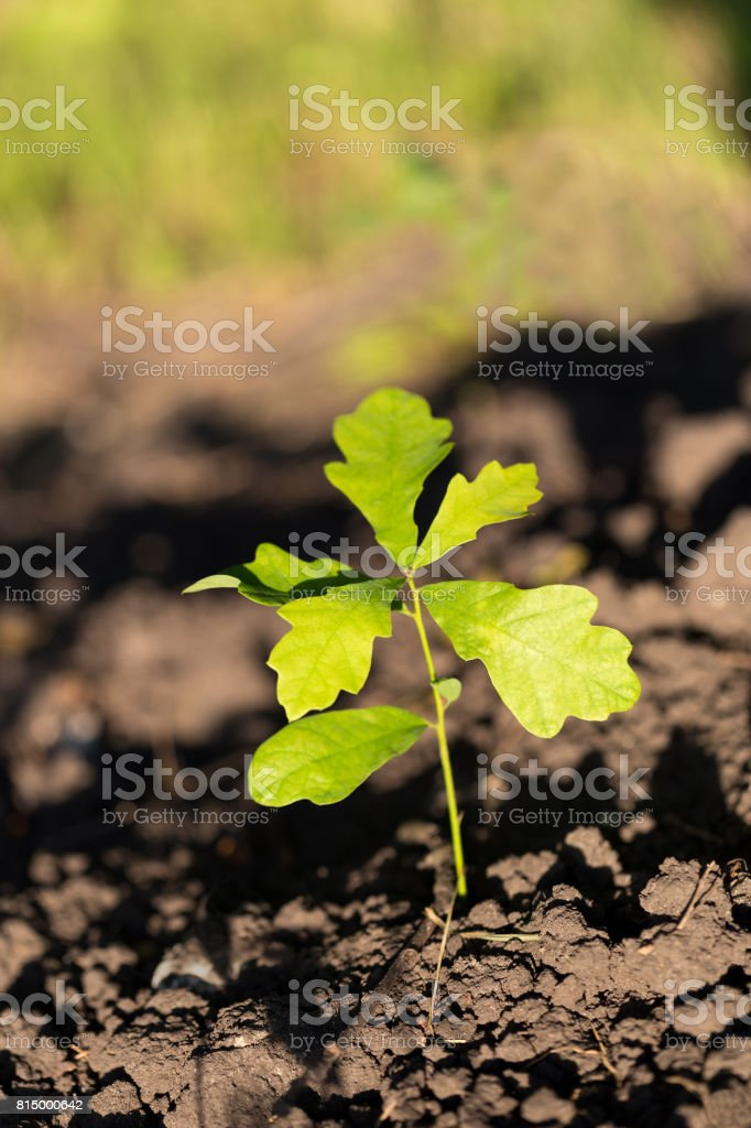 Oak tree sprout with rich green leaves on soil background. stock photo