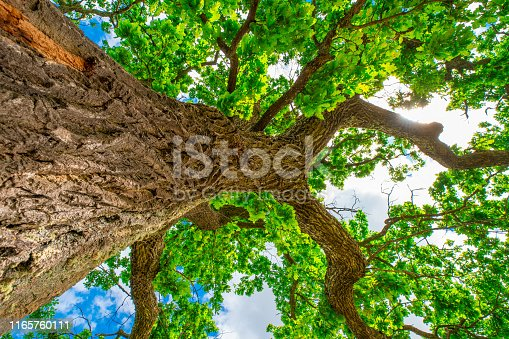 Oak. Tall oak tree with green leaves with blue sky background. View from down. Summer background. Green environment concept.