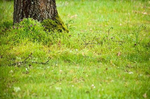 Oak tree trunk and green field.