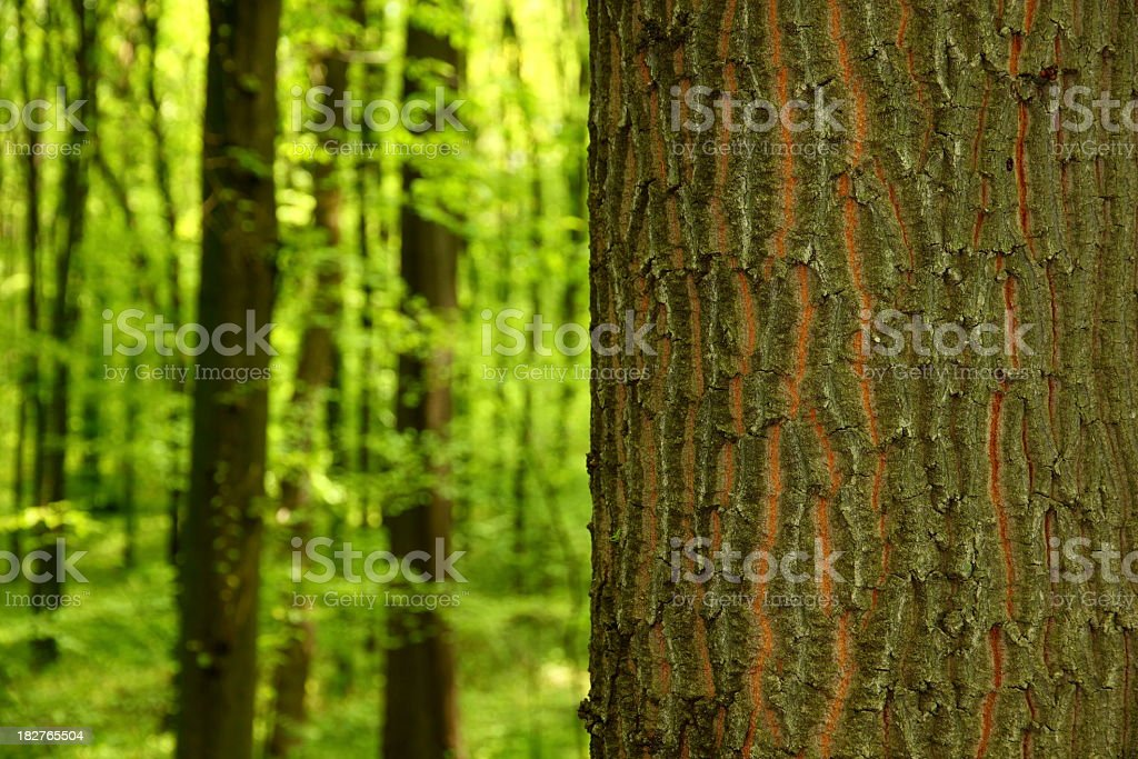 Oak tree trunk bark foreground with woodland backdrop royalty-free stock photo