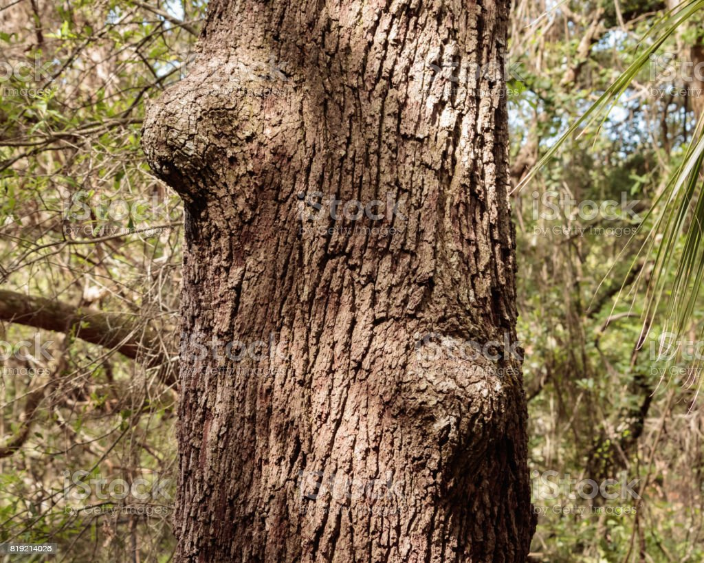 Oak tree trunk close up bumps stock photo