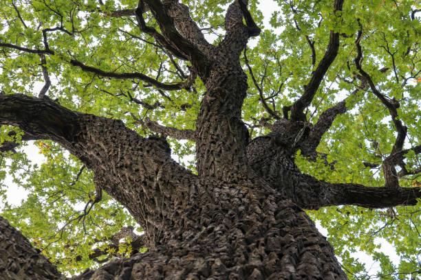 오크 나무 줄기입니다. 대규모 오크 나무 배럴 분기. 스톡 사진